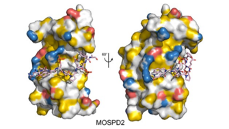 Crystallographic structure illustrating phosphorylation-dependent interaction between two protein contacts.